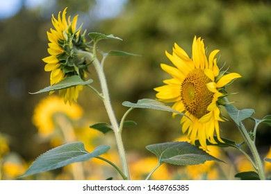 Close-up of sunflowers in a sunny summe field