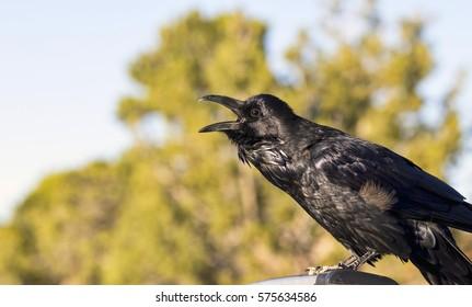 Closeup of a sunlit Common Raven (Corvus corax) calling.