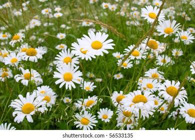 Closeup of sunny chamomile field
