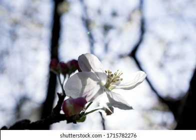 Closeup of sunshine back lit spring white cherry blossom flower on a branch with blue sky