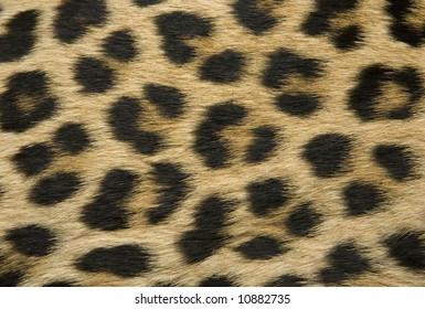 Close-up of surface fur leopard (Panthera pardus)
