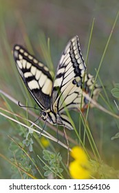 Close-up of a Swallowtail butterfly in the meadow