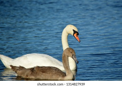Close-up of a swan and cygnet on water.