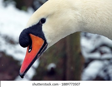 Close-up of swan with orange beach during cold German winter. Snow and ice. Winter wildlife.