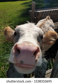 Closeup of sweet baby cow with pink nose reaching out to sniff and lick the camera. Reaching out for loveee