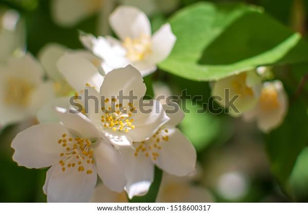 closeup-sweet-mockorange-philadelphus-co