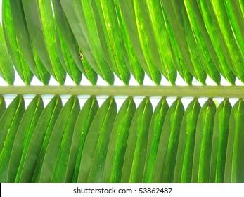 Closeup of symmetrical palm leaf