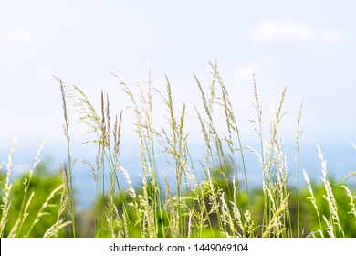 Closeup of tall grass plants in Shenandoah valley national park by Blue Ridge appalachian mountains with sky in blurry background