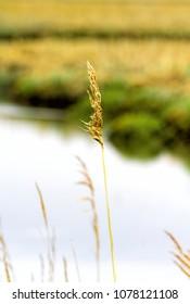 Closeup of tall grasses in wetlands