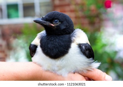 Close-up of a tame baby Magpie or Pica Pica relaxing on a human hand