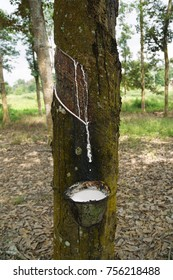 Closeup of tapping latex from rubber tree