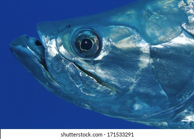 Closeup of Tarpon (Megalops atlanticus) - Bonaire