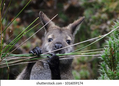 Wallabies Tasmania Images Stock Photos Vectors Shutterstock