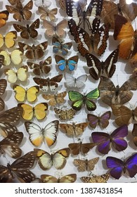 Closeup of taxidermic butterflies are for education at insect zoo museum and the number in the photo only for museum database not for commercial