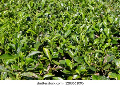 Closeup of tea plant growing in The Daintree in Tropical North Queensland, Australia