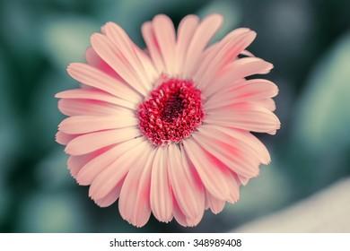 Closeup tender pink gerbera