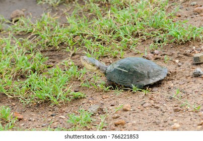"Closeup of Terrapin (scientific name: Pelomedusa subrufa, or ""Kasa"" in Swaheli) image taken on Safari located in the Serengeti National park, Tanzania"