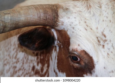 closeup of texas longhorn bull - landscape