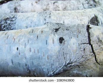 Closeup texture of a birch trunk