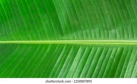 closeup texture of green banana leaf