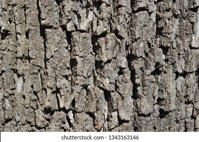 Close-up texture of the valuable and beautiful Black Walnut Tree bark, also known as Juglans or the eastern black walnut it is a tree native to North America.