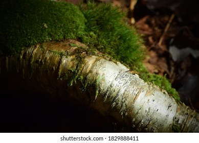 Closeup of textured bark on a tree limb in the forest overgrown with moss