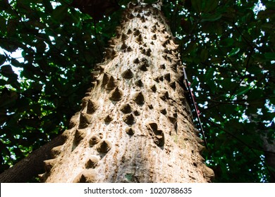 Closeup textured and surface of the trunk of Kapok tree, Red silk cotton tree, Bombax ceiba tree in the forest