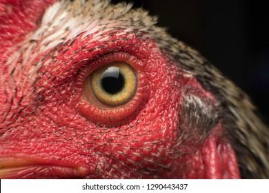 Closeup Thai Cockfight's head, Chicken head, very clear eyeball
