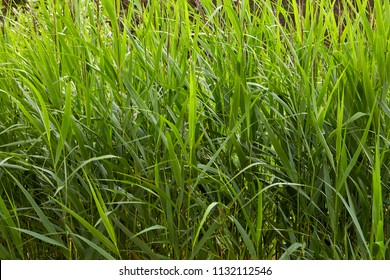 Close-up of a thicket of marsh reeds in the form of a solid green wall, abstract background texture for  backdrop.
