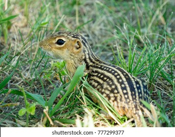 Closeup of a Thirteen-Lined Ground Squirrel in the Tall Grass
