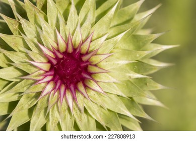Close-up to a thistle when it starts to bloom in Villa de Merlo, San Luis, Argentina