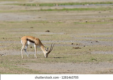 "Closeup of Thompson's Gazelle (scientific name: Gazella thompsoni, or ""Swala tomi"" in Swaheli) in the Ngorogoro National park, Tanzania"