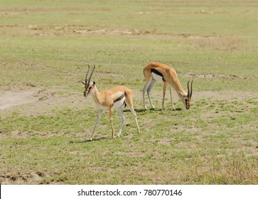 "Closeup of Thompson's Gazelle (scientific name: Gazella thompsoni, or ""Swala tomi"" in Swaheli) in the Ngorongoro National park, Tanzania"