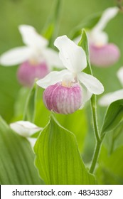 closeup of three lady slippers