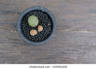 Closeup three Lithops cactus in the black pot on the wooden table