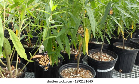 Closeup of Three Monarch Butterflies on Swamp Milkweed Plants in Greenhouse