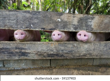 close-up of three pig snouts through a fence