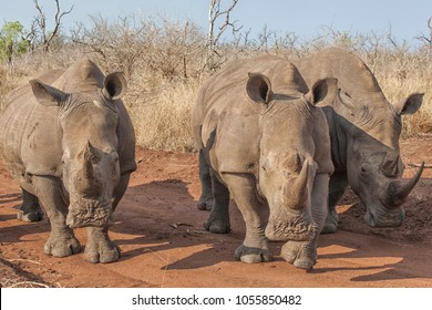 closeup of three white rhinos with long horns approaching on a dirt road in Africa