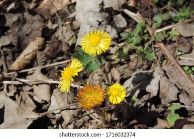 A closeup of three yellow coltsfoot and one orange on woodland background