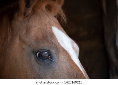 Close-up of a through bred racehorse seen looking at the photographer, Detail of his right eye and blaze is clearly visible in this image of the horse.