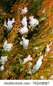 Closeup of thuja tree branches with snow