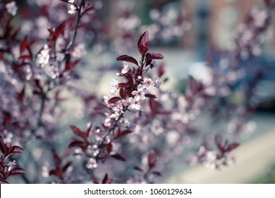 Closeup of Thunberg's barberry, or Japanese barberry