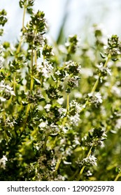 A closeup of thyme plant in bloom in spring