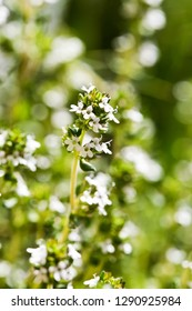 A closeup of a thyme twig in bloom in spring