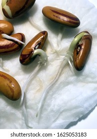 Closeup of 'Tiger Eye' bean seeds sprouting on a moist paper towel, with visible roots