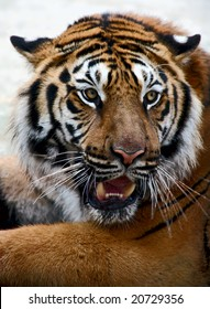close-up of tiger growling face Tiger Panthera tigris, altaica