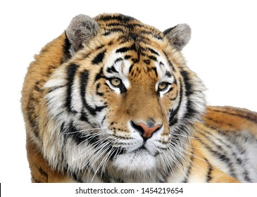 Closeup of a tiger on a white background. Isolated portrait of a tiger