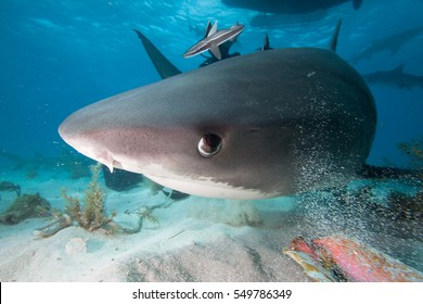 Close-up of a Tiger shark.