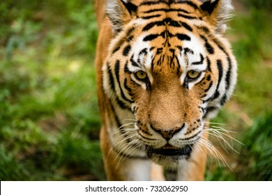 Close-Up of a Tiger walking towards the camera