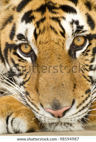 closeup tigers face stock photo edit now 98594987 shutterstock
